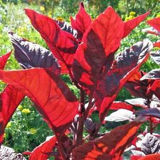 Amaranth Red Leaf Callaloo,1000 Seeds,Chinese Spinach,for Growing Or Sprouting !