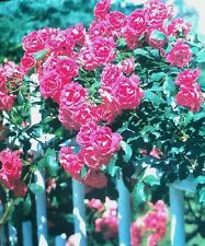 CLIMBING BLAZE Rose Bush Flowers Live Plant  Roses SCARLET PINK RED shrub Sale!