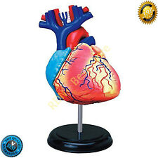 Anatomy Tedco Human Heart Model Deluxe Dimensional Take Apart Doctor Cardiology
