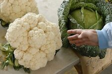25 GIANT CAULIFLOWER SEEDS 2016 30+ LBS POSSIBLE!