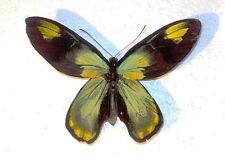 Ornithoptera victoriae epiphanes male Makira is....wingspan 128 mm!!!...RARE!!!