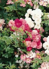 Rosa chinensis Angel Wing 10 seeds