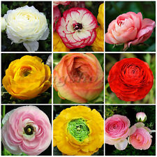 2X Ranunculus Persian Buttercup Perennial Mix Spring Fragrant Plant Flower Bulbs