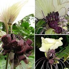Außergewöhnlich • Fledermausblume • 10 Samen/seeds • Tacca nivea • Bat Flower
