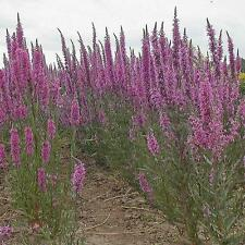 Wildflower Seeds - Purple Loosestrife - 5000 Seed