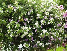 Utopia Mix Bacopa Seeds,Perfect for hanging baskets and windowboxes. Perennial !