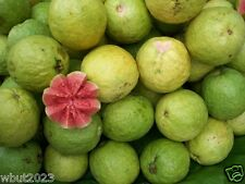 25 TROPICAL GUAVA PLANT SEED(Psidium Guajava) Fruit Tree Shrub-Perennial !