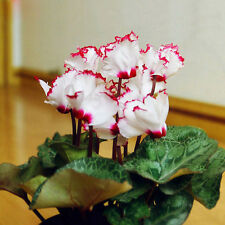 New Light Pink Plicated Cyclamen with Red Edge Flower Seeds