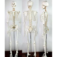 life size human skeleton | ebay, Skeleton