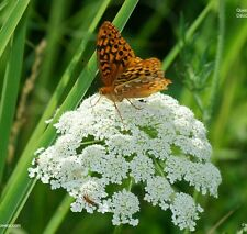 Queen Anne's Lace  - Wild Carrot - 150 Organic seeds. US seller, free shipping