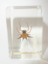 Spiny Spider (Gasteracantha kuhlii) Insect Specimen in Small paperweight Clear