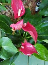 Anthurium live plant Flower PINK FLAMINGO cluster IN BLOOM POTTED
