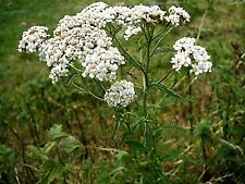 Yarrow 10000 seeds GROW YOUR OWN FOOD rabbit food  FREE POST