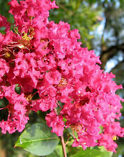 LILAS DES INDE  ROUGE   Lagerstroemia Red Imperator