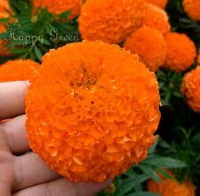 AFRICAN AZTEC MARIGOLD - Tagetes Erecta Double Tall Shiny Orange - 300 SEEDS