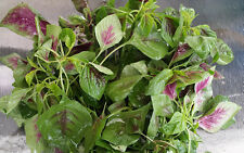 Amaranth Edible Red-Green - Delicious Chinese Leafy Spinach - 100 Seeds