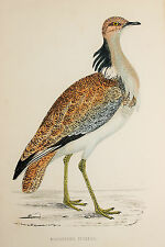 Macqueen's Bustard Antique Bird Print by Rev. F.O. Morris (ref:138)