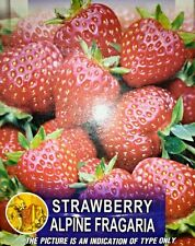Strawberry 15 Seeds All Pincode Shipping