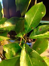 5 Tupelo Tree Seeds 2015 Black Gum NATIVE TREE NECTAR TREE