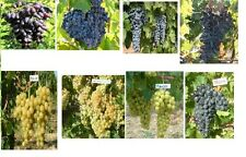 40 grape seeds, mixed  seeds, Muscat, Italia, Codreanca, Favorit, From Moldova,