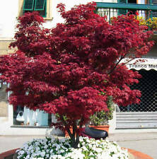 """ACERO ROSSO GIAPPONESE  """"Acer palmatum Fire Glow """""""