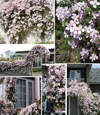 rosa Clematis Stck. blühende winterhart schnellwüchsig duftende Hecken Sträucher