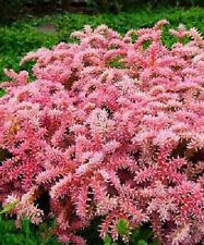 50+ SEDUM SEASTAR PERENNIAL FLOWER SEEDS