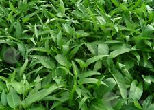 Swamp morningglory Green Vegetable seed 20 seeds Water spinach patio garden
