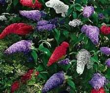 Butterfly Bush -BIG MIX-150 Seeds! THAT'S 150 BUSHES! COMB. S/H! SEE OUR STORE!
