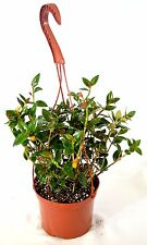 Goldfish Plant - 6 Hanging Basket - Blooms Constantly Gift Holiday Mature Hardy