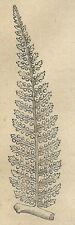 A4006 Ramo di dicksonia gigantea - Incisione - Stampa Antica del 1888