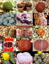 RARE Lithops MIX succulent cactus EXOTIC living stones desert rock seed 15 SEEDS