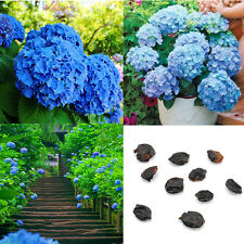 Gorgeous 10pcs Blue Hydrangea Flower Seeds Home Garden Plants Flower Decor DIY