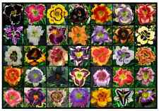 MILLENIUM MIX -  Newest Intros daylily seeds Perennial Flower seed daylilies