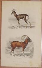 CROMOLITOGRAFIA GAZELLA MUFLONE GAZELLE MOUFLON MOUFFLON ANIMALS ZOOLOGY 1880
