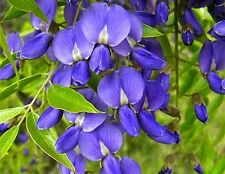 Bolusanthus, South African Wisteria Tree, 10 seeds, warm zones 9 to 10, fragrant
