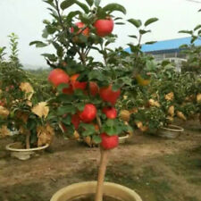 20PCS Bulk Seeds Apple Tree Seeds Bonsai Garden Yard Outdoor Living Fruit Plants