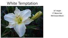 White Temptation x ?  2016 daylily seeds (5 seeds)