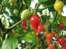Red Biquinho Pepper (CAPSICUM CHINENSE) 100 Brazilian Heirloom Pepper seeds !
