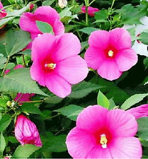 200 Seeds Hibiscus Moscheutos Seed Abelmoschus Hibiscus Flower 1 Pack 200 Seeds