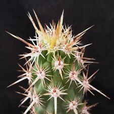 Echinocereus Brandegeei Cactus Cacti Succulent Real Live Plant