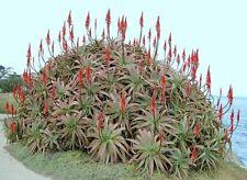 Aloe Arborescens kranz vera healing medicinal succulent rare plant seed 10 SEEDS