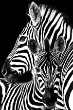 Zebra Poster - Mother and baby Zebra - New African Wildlife Poster