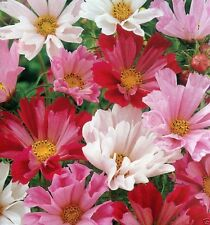 1000 Sea Shells Cosmos Seed - Mix - Carmine, rose, pink, and white.tubular petal