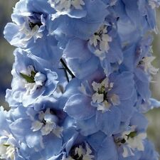 25+ MAGIC FOUNTAINS SKY BLUE W/ WHITE BEE DELPHINIUM  FLOWER SEEDS  / PERENNIAL