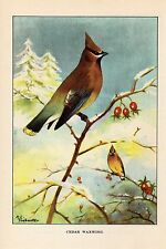 """1926 Vintage TODHUNTER BIRDS """"CEDAR WAXWING"""" STUNNING 90 YEARS OLD Lithograph"""