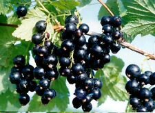 20 seeds - Black Currant Seeds -Cold Stratified