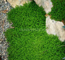 Herniaria Glabra Seeds, GREEN CARPET Ground Cover Grass Seeds