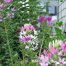 CLEOME Fountain Mix Seeds (F 147)
