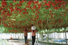 ITALIAN TREE TOMATO 'Trip L Crop'Rare Seeds(15 Seeds),Lowest Price,free shipping